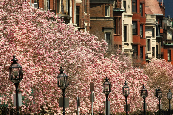 magnolias-in-bloom-2_JPG